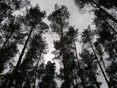 Holkham - Evening Trees (TempusVolat) Tags: cameraphone trees cloud tree mobile pine zeiss geotagged evening nokia interesting woods flickr phone mr image dusk 28mm picture wideangle pines mobilephone getty gw gareth f28 n8 tempus carlzeiss holkham nseries morodo nokianseries 12mp nokian8 volat mrmorodo garethwonfor tempusvolat