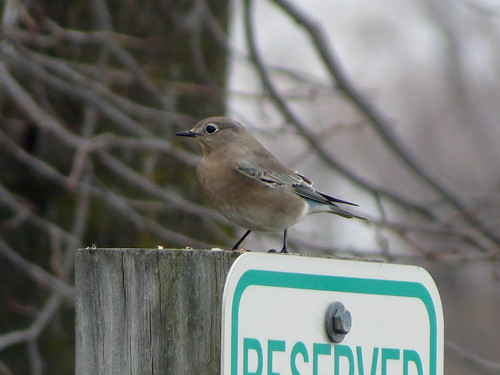 IBSP Mountain Bluebird