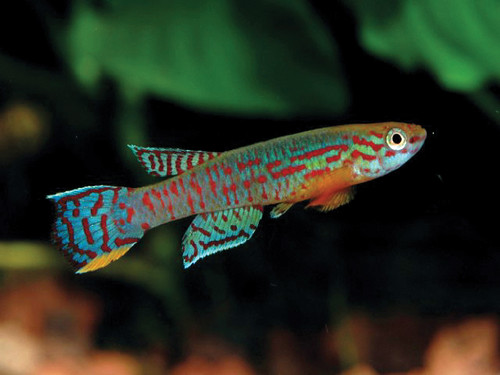 Ornamental fish in Malawi. Photo by Jean Francois Agnese, 2007