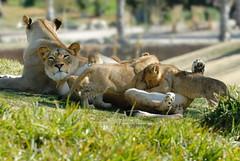 Lionesses & cub at Wild Animal Park in Escondido-33 2-12-08