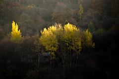 RESISTENZA (Lace1952) Tags: alberi inverno autunno colori freddo resistenza vco betulle ossola nikond7000 nikkor300mmf4e5