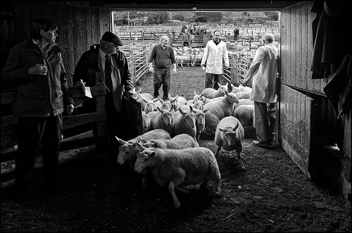 people scotland highlands sheep market sale shepherd north local scottishpeople lairg sheepmarket auctionsale