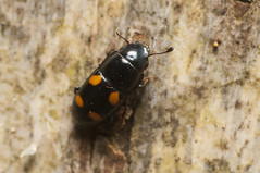 Glischrochilus hortensis (Will_wildlife) Tags: sandy beetle coleoptera thelodge rspb nitidulidae sapbeetle glischrochilushortensis