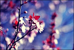 Promises (alina.) Tags: pink flowers blue red flower tree leaves canon cherry 50mm leaf spring branch dof blossom bokeh branches blossoms 50mmf14 52weeks canon550d canoneos550d blinkagain alinacerny
