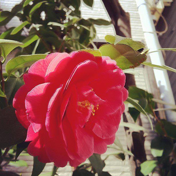 自宅横の花 http://instagr.am/p/Iyc15fGOx7/