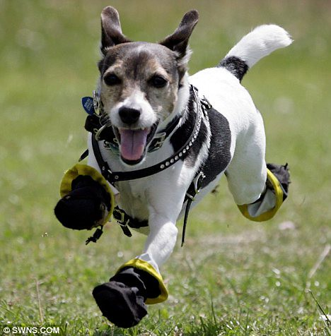 These boots are made for walkies Jaxs the terrier allergic to grass tries out his new shoes  1