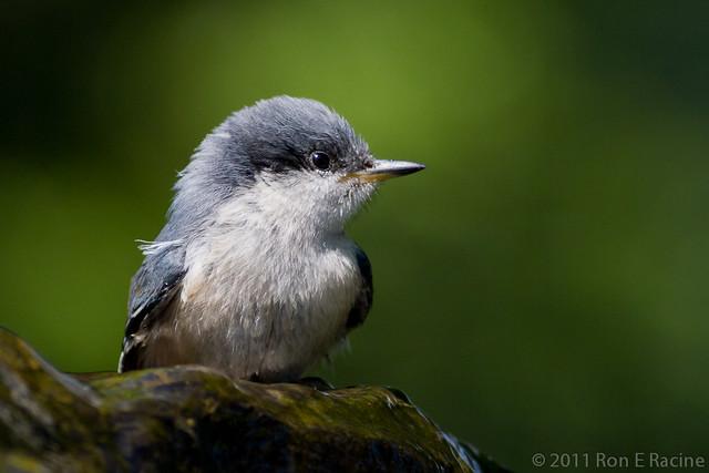Juvenile Pygmy Nuthatch