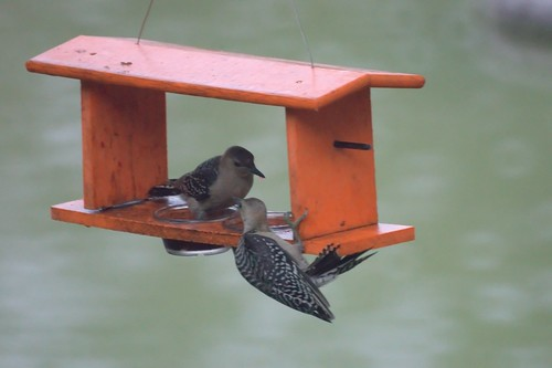 Sibling Rivalry: Red Bellied Woodpeckers
