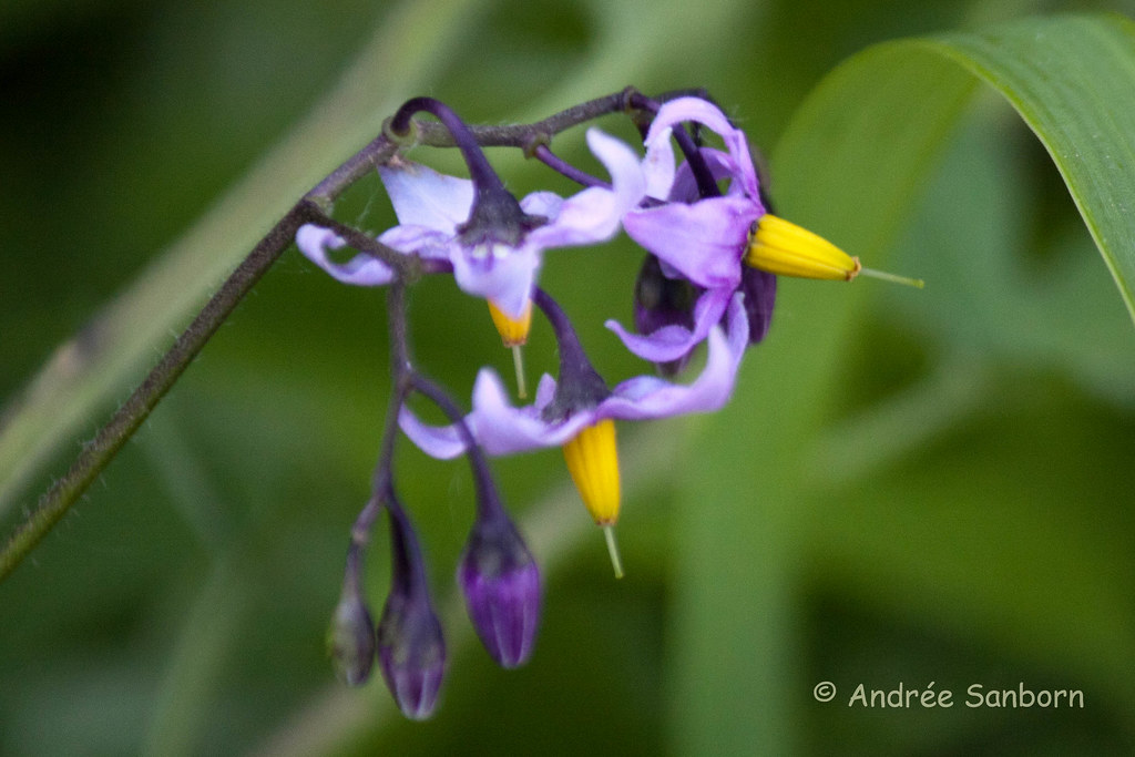 Woody Nightshade (Solanum dulcamara)-1.jpg