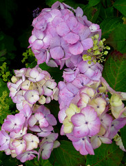 Hydrangea 'Preziosa' (Sigrid Frensen) Tags: pink summer flower colour green garden cream lilac hydrangea transition hortensia serrata preziosa