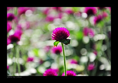 Flowers under the sun (e.nhan) Tags: pink flowers light flower art nature closeup colorful colours dof bokeh arts backlighting enhan