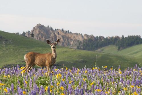 deer-wildflowers