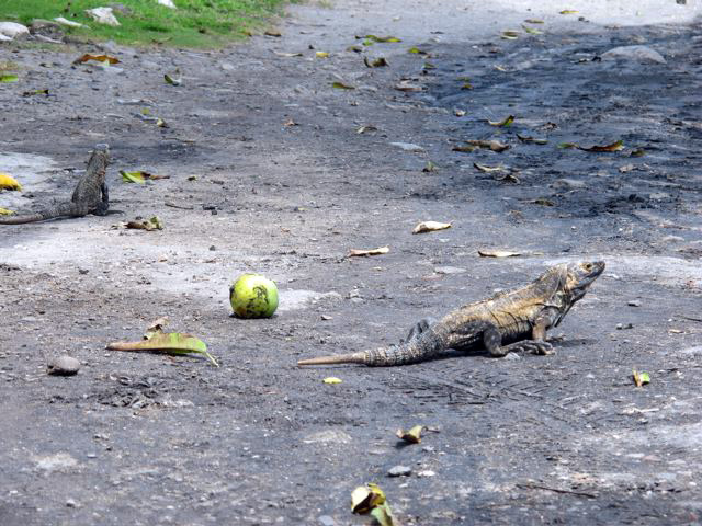 Iguana having mangoes...