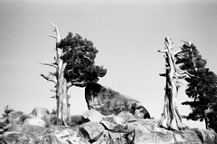 Trees and Rocks (pjink11) Tags: california blackandwhite mountains film 35mm nikon kodak 1987 trix wilderness sierras deadtrees fe2
