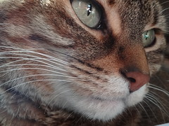 Sam (shanrocs11) Tags: cute face cat fur nose photography eyes kitten whiskers upclose