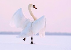 Swan Dance (Horst Beutler) Tags: sunset bird dance swan pentax wildlife tanz muteswan cygnusolor swandance hckerschwan k20d pentaxart wildwondersofeurope schwanentanz copyrighthorstbeutlerphotography