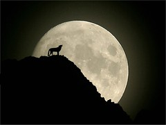 NIGHT OF THE WOLF (mark_rutley) Tags: moon night photoshop wolf wildlife manipulation silhoutte howl jacklondon whitefang supermoon