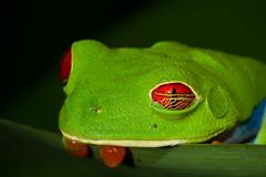 Red-Eyed Treefrog Eyelid (Xuberant Noodle) Tags: red costa tree green eye forest wildlife amphibian rica frog jungle eyed treefrog eyelid