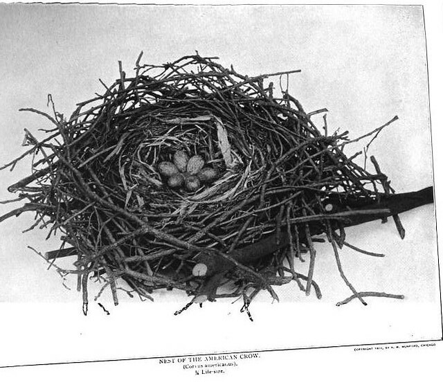 Crow Nest from Nature Neighbors - Audubon Magazine 1914
