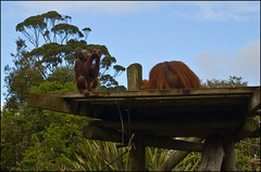 Auckland Zoo - Orangutans