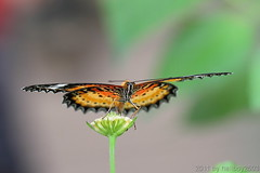 Schmetterling 9 (hellboy2503) Tags: orange flower nature canon butterfly germany natur butterflies blumen images 100mm gelb 7d getty blau falter makro bltter gettyimages jrg schmetterling nektar gettyimagescallforartists gettyimagesartistpicks hellboy2503