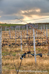KAScott_20111029_1618henb (Ken Scott) Tags: autumn usa fall vineyard vines october michigan grapes circa hdr leelanau