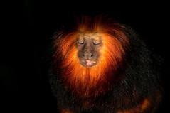 Golden-headed lion tamarin (Jim Skovrider) Tags: nature animal denmark zoo nikon natur nikkor danmark regnskoven randers randersregnskov regnskov goldenheadedliontamarin colorefexpro sb900 adobephotoshoplightroom d300s nikond300s afsdxnikkor18200mmf3556gedvrii mygearandme colorefexpro4