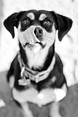 Hungry Beast (1dog1day) Tags: portrait bw dog face animal tongue puppy mutt mix lick doggy treat pup doggie