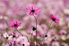 () /Cosmos bipinnatus (nobuflickr) Tags: flower nature japan osaka cosmos  naturesfinest  cosmosbipinnatus   internationalexpositionparkquot awesomeblossoms persephonesgarden