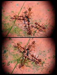 Documentary Shadow Attack (Kenny Teo (zoompict)) Tags: light macro beautiful canon wonderful insect lens photo yahoo photographer view walk small attack best tiny ants getty kenny redant zoompict eos5dmark2 kennyteo singaporelowerpiercereservoir