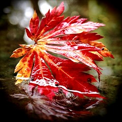 Red autumn leaf () Tags: autumn usa reflection green nature water pool leaves closeup america season outdoors photo washington branch view state northwest image bokeh united picture photograph local tacoma states