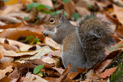 Squirrel (unluckypixie) Tags: autumn leaves squirrel bracknell