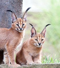 Caracal Kittens (ArmanWerthPhotography) Tags: oregon cat portland zoo pdx caracal caracalkittens