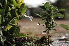 A drop of water -   (Ateyah J. Hujaili) Tags: water canon photo drop made 2012 ksa yanbu 2011  600d