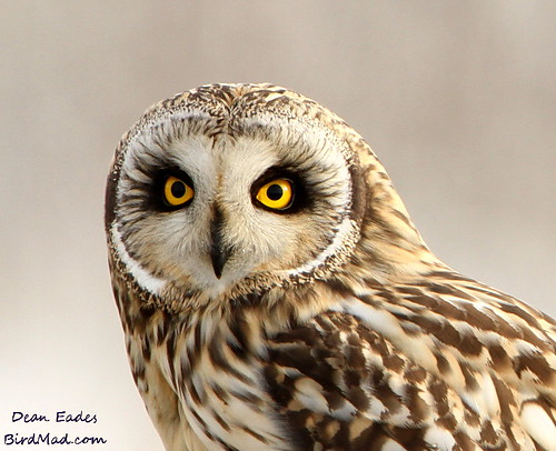 Short eared owl  by Dean Eades - BirdMad
