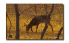 Buck Shot (Ethan G. Knuti) Tags: autumn fall saint minnesota paul deer mississippiriver buck mn ramseycounty deeropener ethangknuti