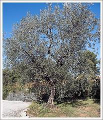 Olivenbaum (rhorst60) Tags: italien italy toskana olivenbaum