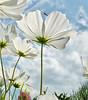 I love summer ! (Bessula) Tags: summer sky flower nature clouds garden insect o ngc bee npc bessula saariysqualitypictures magicunicornverybest coth5 magicunicornmasterpiece blinkagain artistoftheyearlevel2 masterclasselite