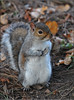 GREY SQUIRREL 2 (Shaun's Wildlife Photography) Tags: wildlife shaund