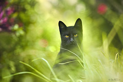 Black Cat (Ben Heine) Tags: park portrait green art nature colors beauty look grass smart animal silhouette composition cat blackcat painting photography eyes focus chat colorful tunisia expression retrato royal belief peaceful grace yeux gato photoediting imperial expressive lonely chance ogen wildcat cath majestic sousse superstition impressive confident imposing humble  solitaire noble donotdisturb kissa elegance smarter badluck postp