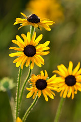 Black-eyed Susans DSC_8853 by Mully410 * Images