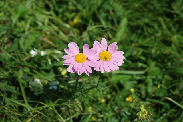 wild flowers Caucasia Georgia