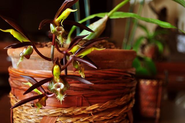 orquideas exóticas