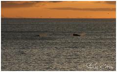 Cape Town - Whales - 20110705 (SCrous) Tags: capetown whales scrous