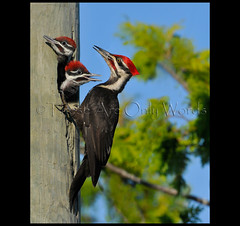 Feeding Time (these are only words) Tags: wild favorite ontario canada bird breakfast woodpecker babies nest feeding beak feathers parent feed favourite fledgling tobermory dryocopuspileatus brood pileatedwoodpecker regurgitate theseareonlywords