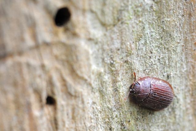 チビコクヌスト [Latolaeva japonica]
