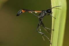 Ammophila sp. (LE Reeves) Tags: insects wasps ammophila sphecidae threadwaistedwasps