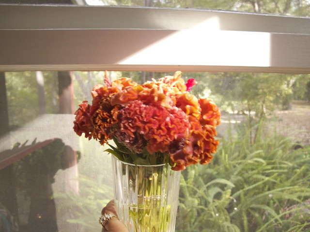 celosia coral fire bunch