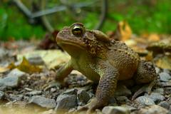 Bufo americanus American toad