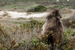 _DSC0185.jpg (ChiccoLoNigro) Tags: wild animals southafrica monkey meditate adult muse safari reflect ape baboon ponder contemplate brood speculate revolve cogitate